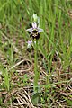Late Spider orchid - Ophrys holoserica - panoramio (1).jpg