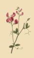 Lathyrus tuberosus.png