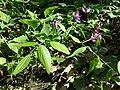Lathyrus vernus sl2.jpg