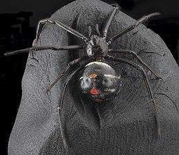 Latrodectus variolus, Back 2013-06-07-18.30.40 ZS PMax (9005967621).jpg