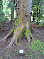 Laurelhurst Park, Portland - London Plane Tree 2012.JPG