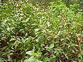 Lawsonia inermis 0002.jpg