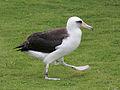 Laysan Albatross RWD8a.jpg