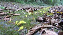 Datei: Blattschneider, die gelbe Blumen transportieren