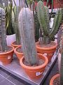 Lemaireocereus dumortierii.jpg