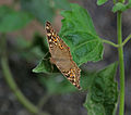 Lemon Pansy (Junonia lemonias) at Jayanti, Duars, West Bengal W Picture 089.jpg