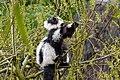 Lemur (26618958097).jpg
