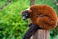 Lemur (36446125462).jpg