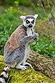 Lemur (36697573875).jpg