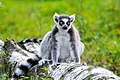 Lemur (37140359162).jpg