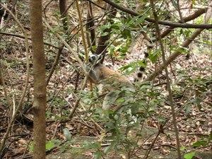 File:Lemur catta - scent marking 01.ogv