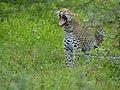 Leopard (Panthera pardus) yawning (12907200864).jpg