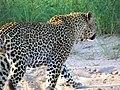 Leopard - South Africa Safari - Djuma Game Reserve - Sabi Sand - Kruger National Park (5587662249).jpg