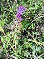 Leopoldia comosa SierraMadrona Flor23 5 16.jpg