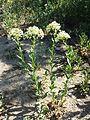 Lepidium draba (subsp. draba) sl4.jpg