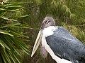 Leptoptilos crumeniferus - marabou - Marabu - marabout d'Afrique - 02.jpg