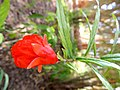 Les fleurs de Siwa - panoramio (3).jpg