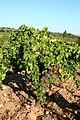 Less rocky soil in Rhône Valley - Châteauneuf-du-Pape.jpg