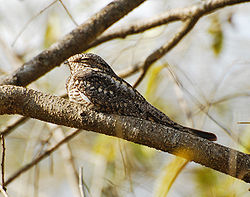 meaning of nightjar