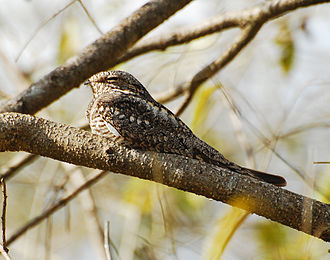 Nightjar - Image: Lesser Nighthawk