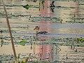 Lesser Whistling-Duck 02.jpg