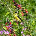 Lesser goldfinch (33844688930).jpg