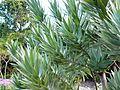 Leucadendron argenteum - Silvertree - foliage.JPG
