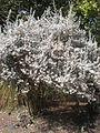 Leucophyllum ambiguum 1c.JPG