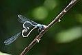 Libellen, Untere Seeveniederung, Landkreis Harburg, Niedersachsen.jpg