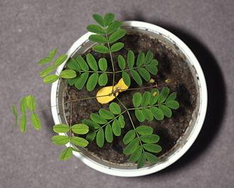 Libidibia ferrea - Image: Libidibia ferrea, Pau ferro