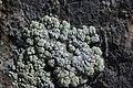 Lichen (20570480981).jpg