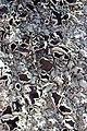 Lichen (27236547446).jpg