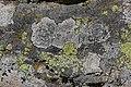 Lichen (29561924647).jpg