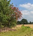 Lijsterbes (Sorbus) met rijpe vruchten. Locatie, Schaopedobbe (Schapenpoel).jpg