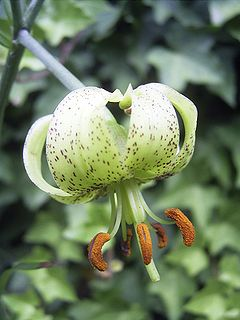 Lilium fargesii flora close.jpg