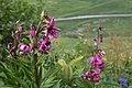 Lilium martagon - Krollilja-3973 - Flickr - Ragnhild & Neil Crawford.jpg