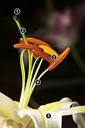 Lillium Stamens.jpg