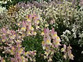 Linaria from Lalbagh flower show Aug 2013 7942.JPG