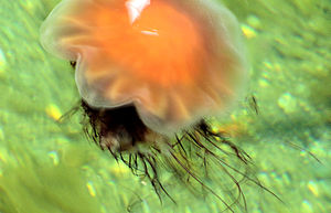 English: Lion's Mane Jellyfish (Cyanea capilla...