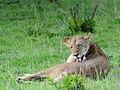 Lion (3075522243).jpg