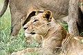 Lioness (2252414333).jpg