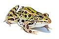 green spotted frog facing right