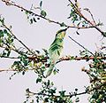 Little-Green-Bee-Eater1.jpg