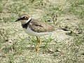 Little ringed plover IMG 1846.jpg