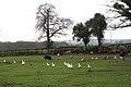 Livestock, Paddock Farm - geograph.org.uk - 1626256.jpg