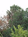 Livistona australis (R.Br.) C.Martius (AM AK299178-6).jpg