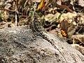 Lizard-15-bsi-yercaud-salem-India.jpg