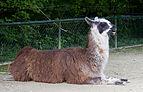 Llama (Lama glama), Tierpark Hellabrunn, Múnich, Alemania, 2012-06-17, DD 01.JPG