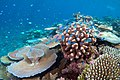 Lodestone Reef Valentines Day 2016, Green Chromis on Coral.jpg