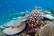 Lodestone Reef Valentines Day 2016, Green Chromis on Coral.jpg